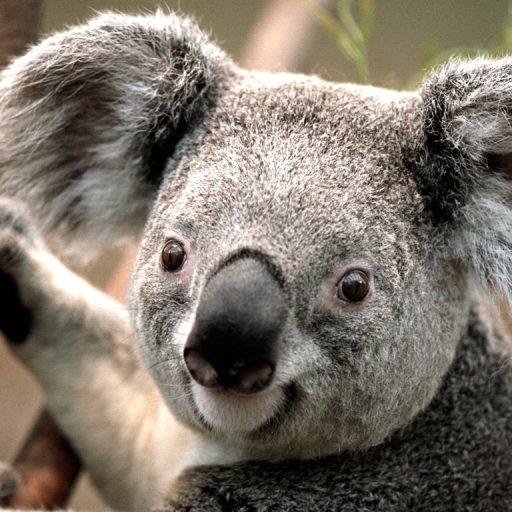 cropped-Koala.jpg